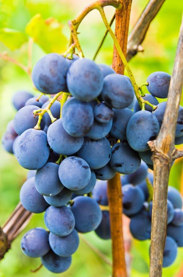 Primer del uvas rojas en una vid en el viñedo foto de archivo