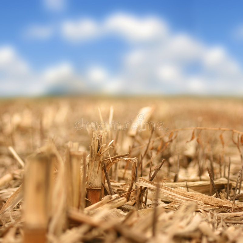 Primer del vástago del maíz (corte) fotos de archivo libres de regalías