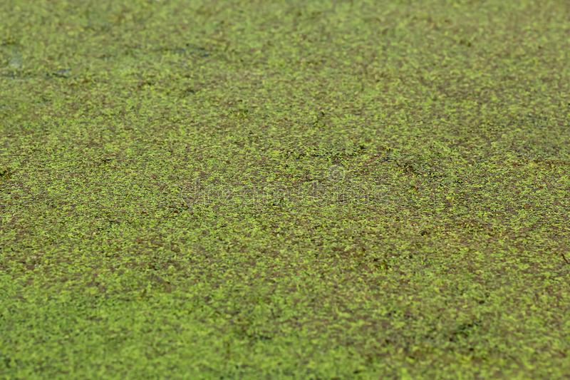 Primer del verdor enorme de la lenteja de agua del lago/de la charca foto de archivo