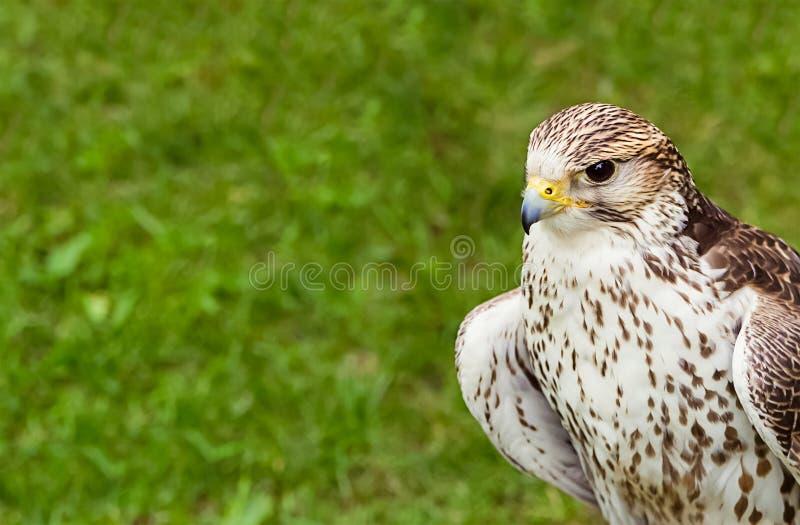 Primer depredador halcón-joven del pájaro del retrato de un fondo verde del césped fotografía de archivo