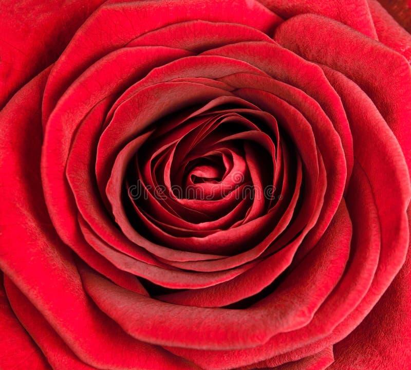 Primer en centro de Rose roja hermosa foto de archivo libre de regalías