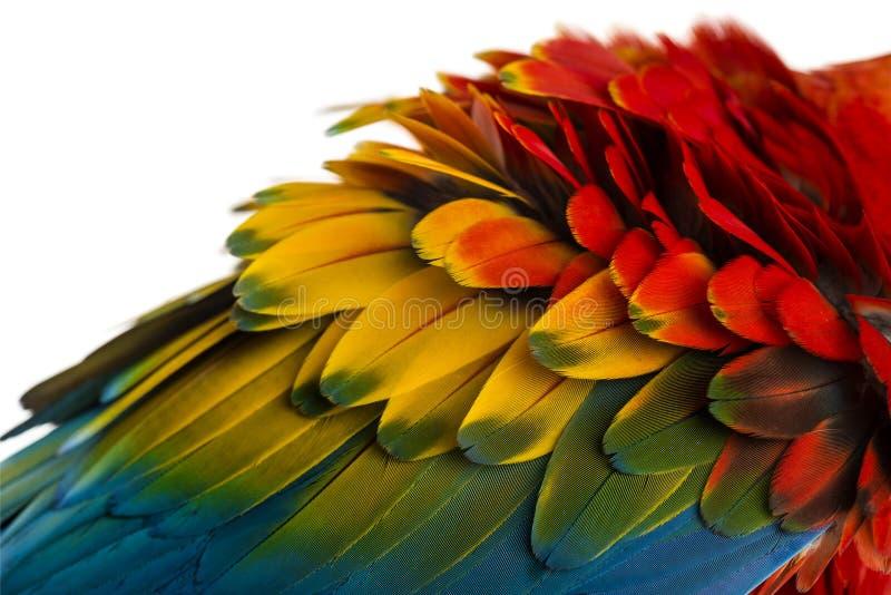 Primer en las plumas de un Macaw del escarlata (4 años) aisladas en w foto de archivo libre de regalías
