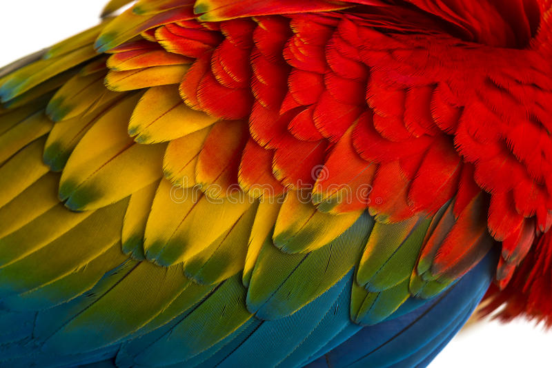 Primer en las plumas de un Macaw del escarlata (4 años) aisladas en w imagenes de archivo