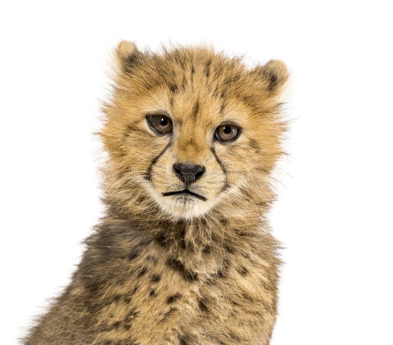Primer en los cachorros de un guepardo de tres meses, aislados imagen de archivo