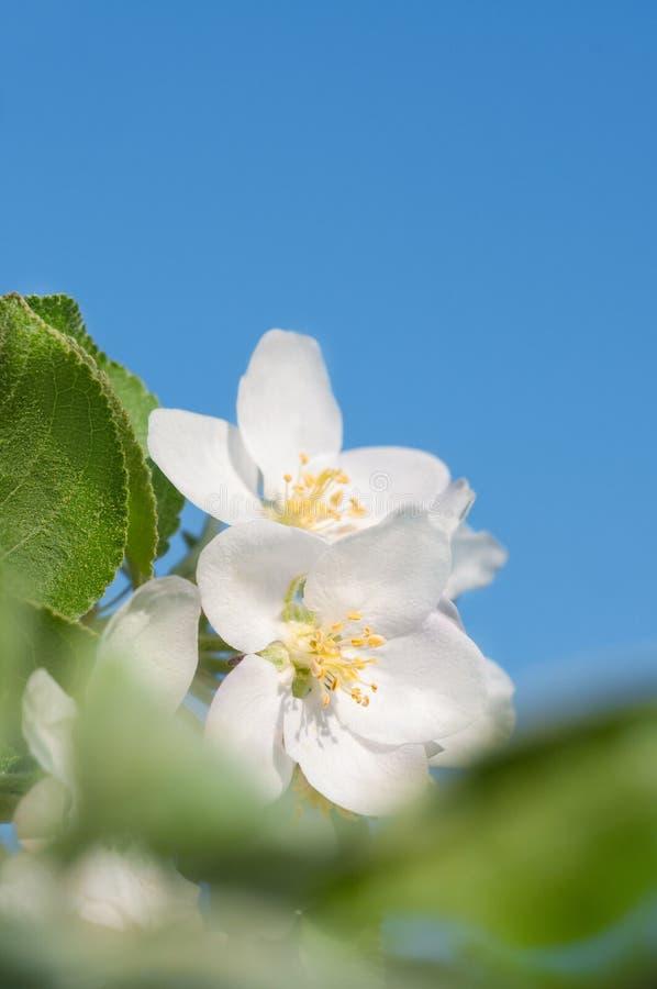 Primer en los flores de la manzana, espacio del texto fotografía de archivo libre de regalías