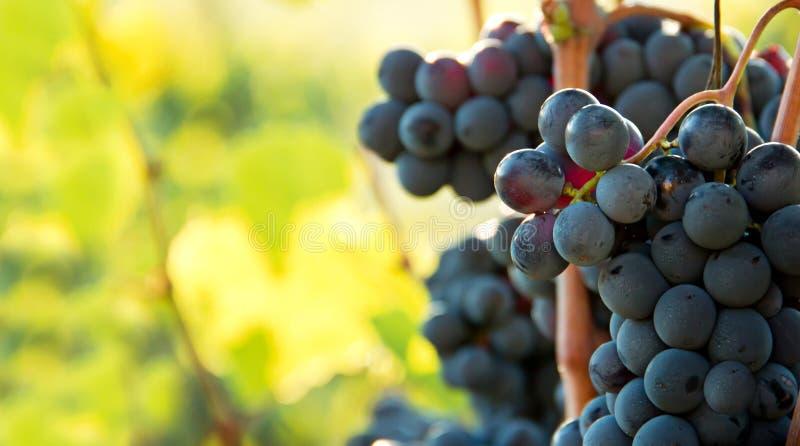 Primer en los manojos de uvas negras en viñedos, Toscana, Italia fotos de archivo