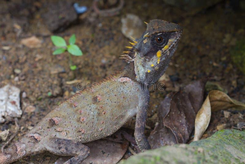Primer enmascarado del lagarto espinoso foto de archivo