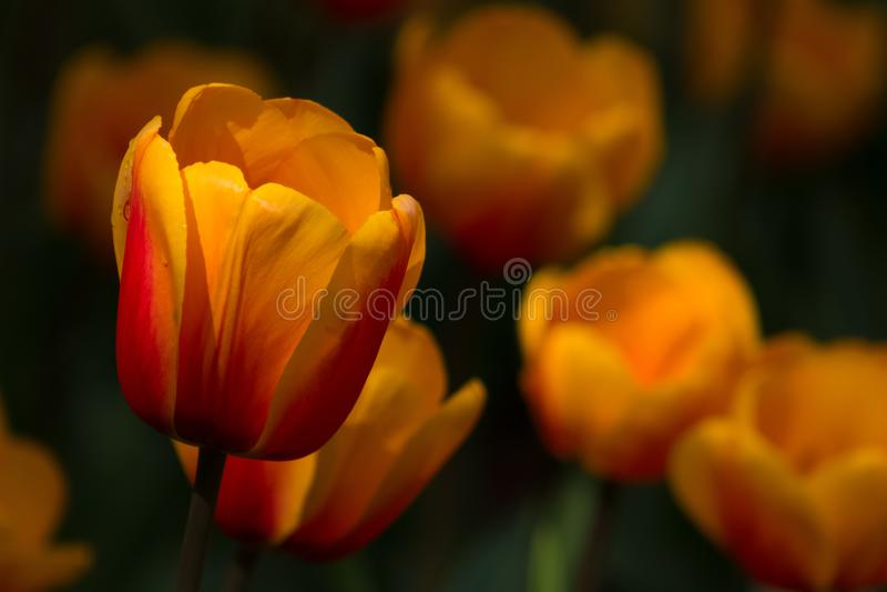 Primer espectacular del sol que ilumina un campo del tulipán anaranjado brillante imágenes de archivo libres de regalías