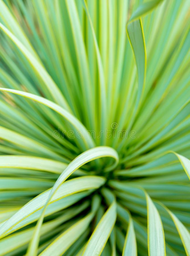 Primer, espina y detalle suculentos de la planta de la yuca en las hojas de la yuca de Narrowleaf fotografía de archivo
