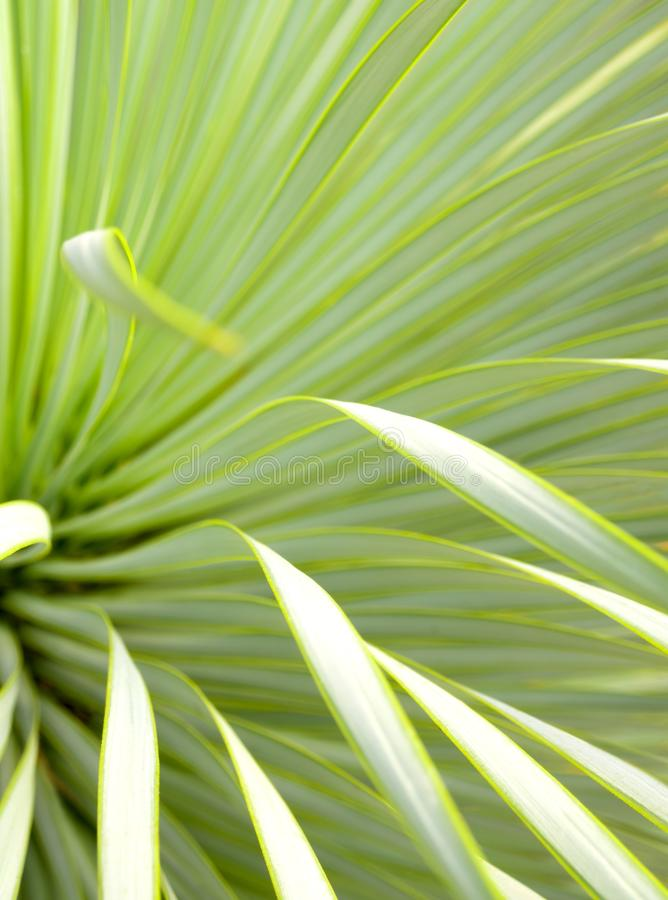 Primer, espina y detalle suculentos de la planta de la yuca en las hojas de la yuca de Narrowleaf fotografía de archivo libre de regalías
