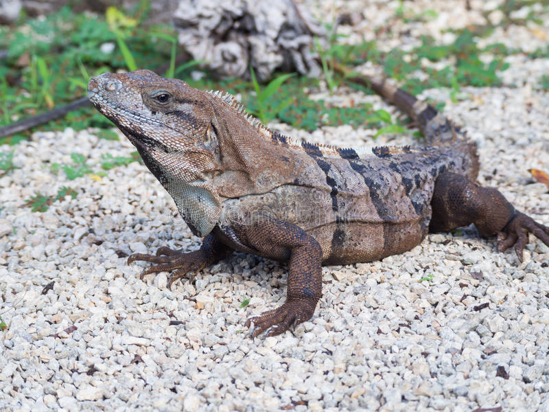 Primer Espinoso-atado negro de la iguana, México imagen de archivo libre de regalías