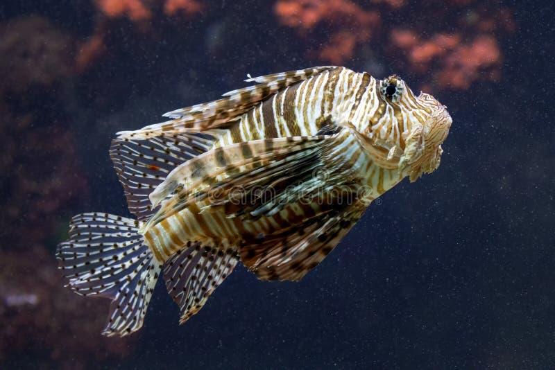 Primer exótico del lionfish fotos de archivo