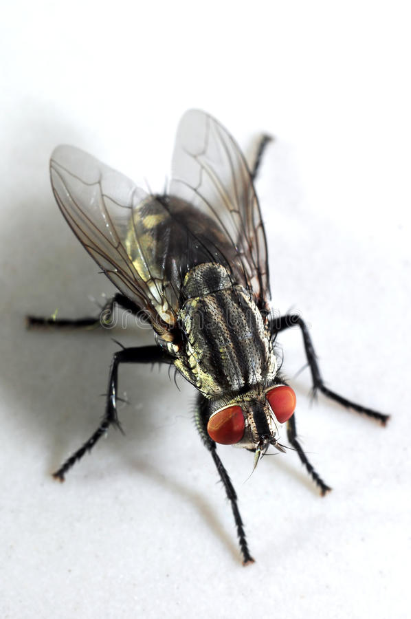 Primer extremadamente detallado de una mosca doméstica fotografía de archivo