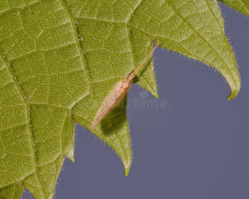 Primer extremo de la especie en una hoja verde - fondo azul liso del insecto - detalle macro de las células del insecto y de la h imagenes de archivo