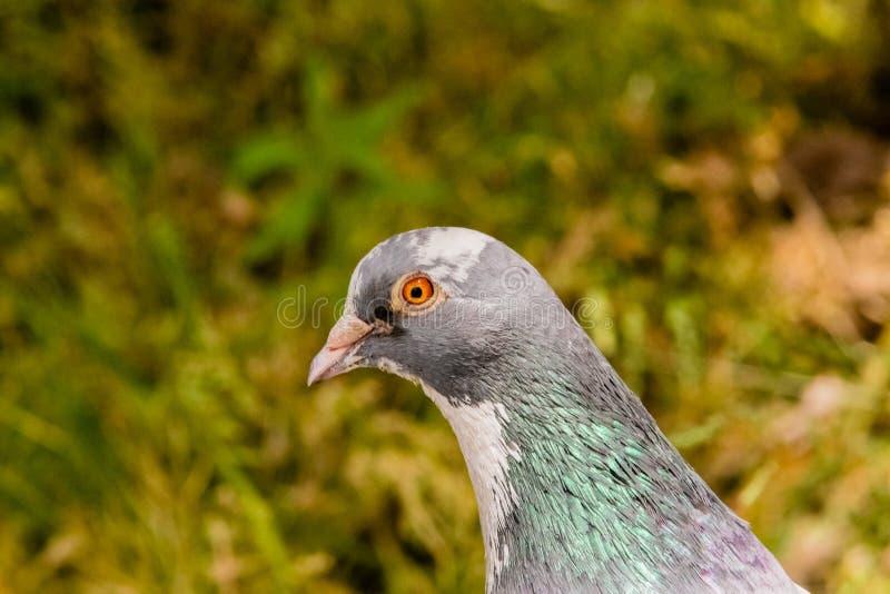 Primer extremo de una paloma con colores hermosos foto de archivo