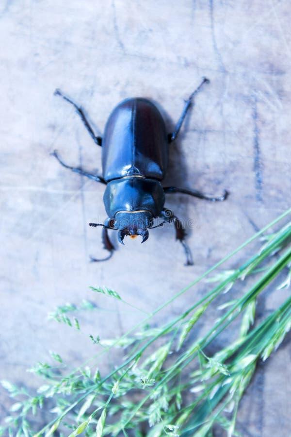 Primer femenino del escarabajo de macho fotografía de archivo libre de regalías