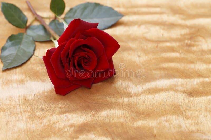 Primer floreciente de la rosa del rojo en fondo de madera imagen de archivo libre de regalías