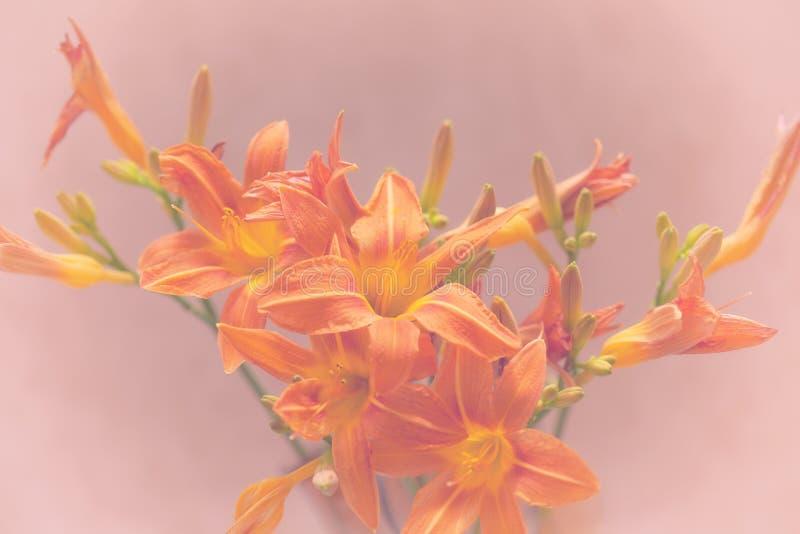 Primer floreciente de los lirios imagenes de archivo