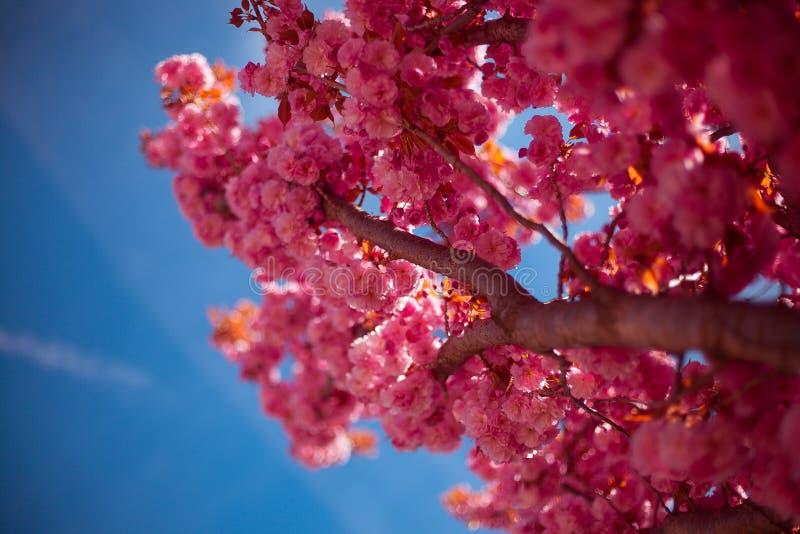 Primer floreciente del árbol de Sakura en un fondo del cielo azul imagen de archivo libre de regalías