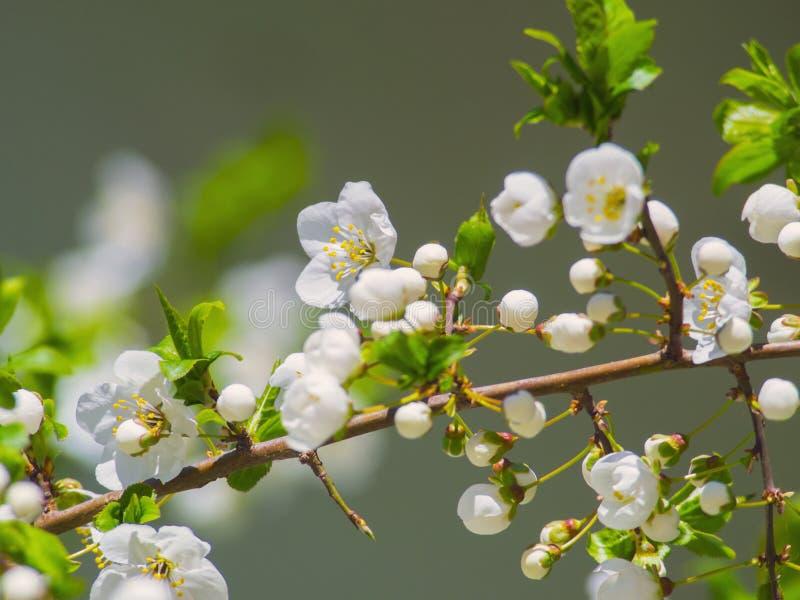 Primer floreciente hermoso del árbol de las flores blancas fotos de archivo libres de regalías