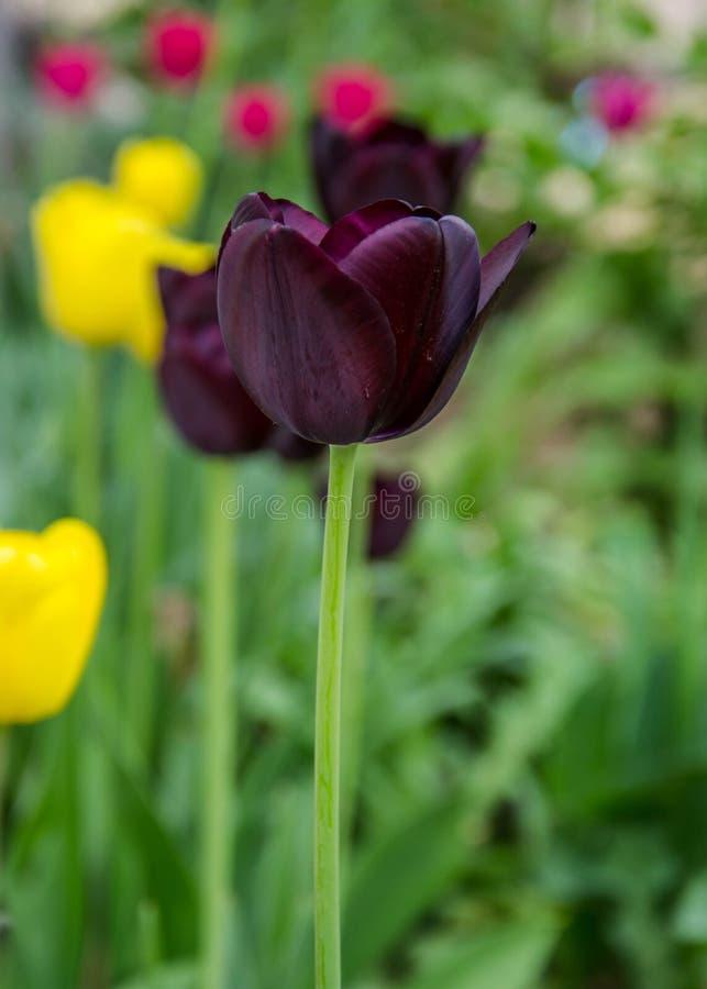 Primer flores púrpuras oscuras de dos de un tulipán con las flores borrosas como fondo, papel pintado de la primavera, foco selec fotos de archivo libres de regalías