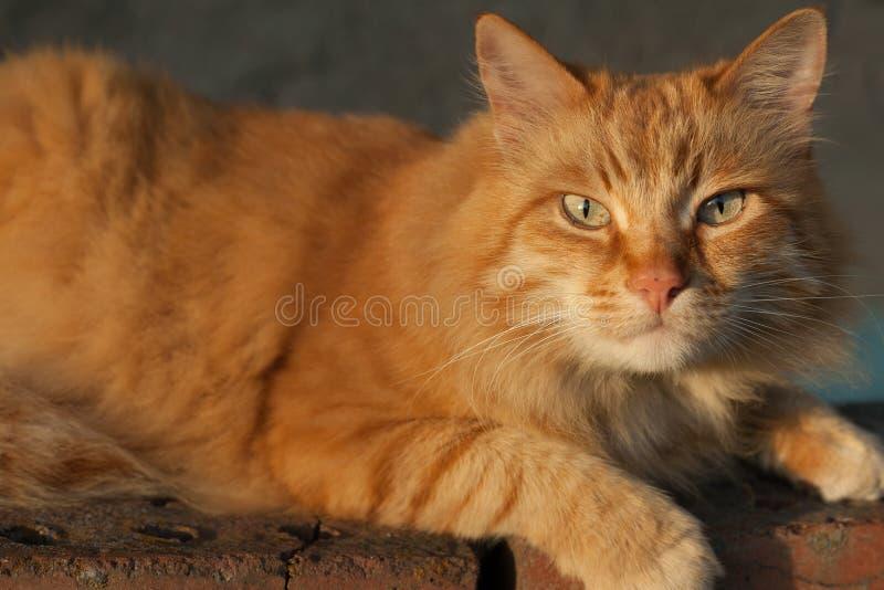 Primer, foto del gato rojo-dirigido con los ojos verdes que miran derecho hacia cámara imágenes de archivo libres de regalías
