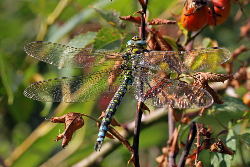 Primer, foto macra de una libélula fotos de archivo