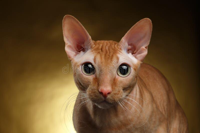 Primer Ginger Sphynx Cat Curiously Looking divertido in camera en el oro imagenes de archivo