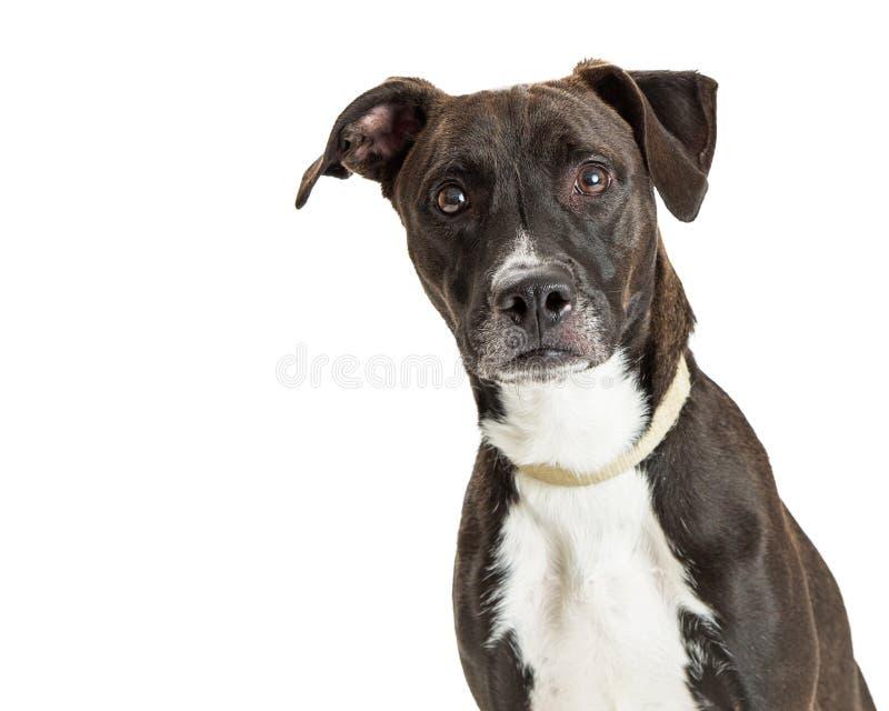 Primer grande atento del perro de Brown oscuro imagen de archivo