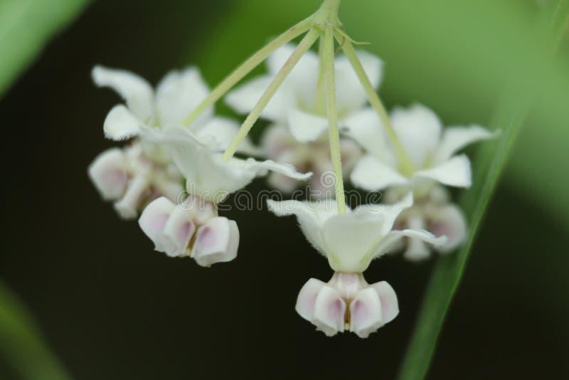 Primer grande de la orquídea blanca en la zona rural de Hong Kong imagen de archivo