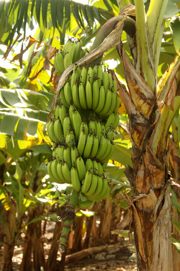 Primer grande del manojo del plátano foto de archivo