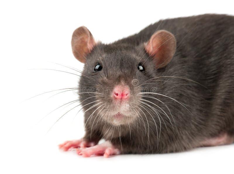 Primer gris de la rata imagenes de archivo