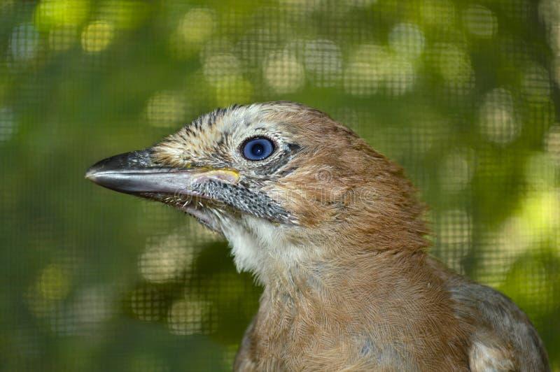 Primer hermoso de jay del pájaro fotos de archivo