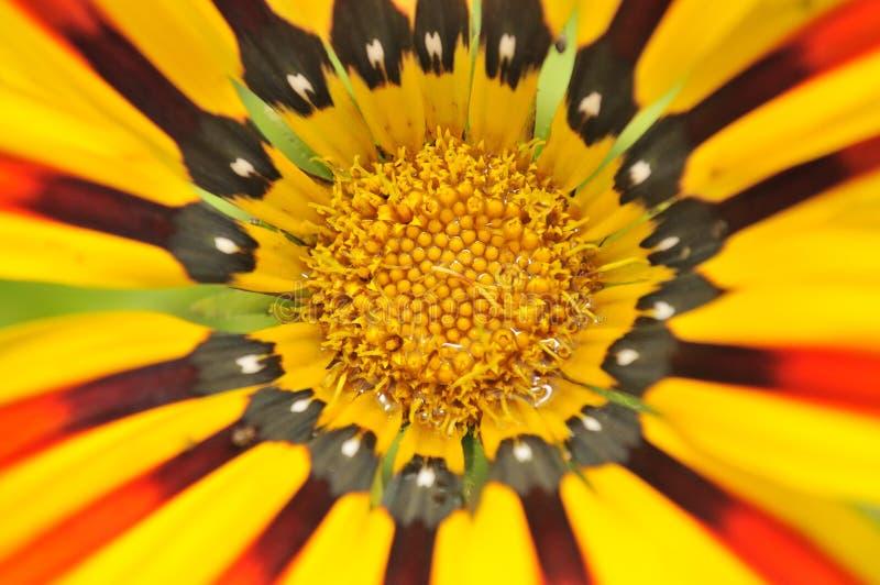 Primer hermoso de la flor del Gazania fotos de archivo libres de regalías