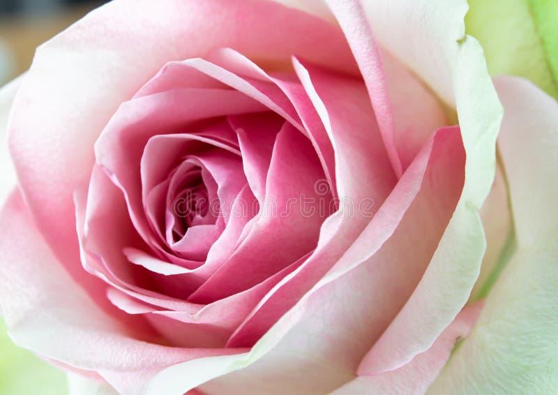 Primer hermoso de la rosa rosada en el jardín imagen de archivo