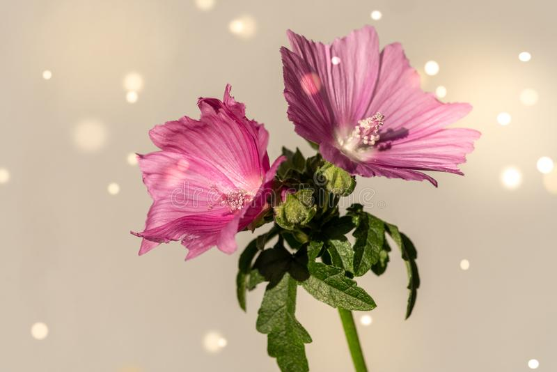 Primer hermoso de las flores rosadas de la malva foto de archivo