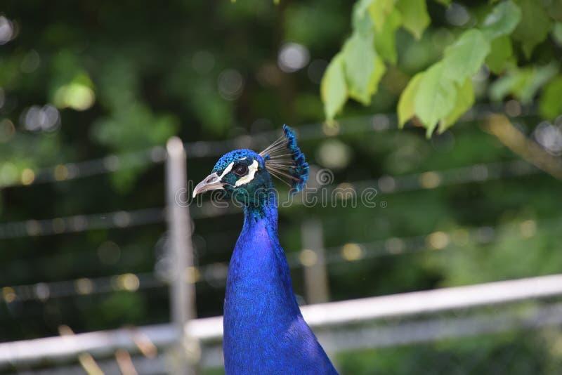Primer hermoso del pavo real fotos de archivo libres de regalías