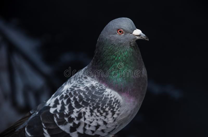 Primer hermoso salvaje de la paloma en un fondo oscuro Las alas manchadas, la cabeza son grises con ojos rojos y un cuello magníf imagenes de archivo