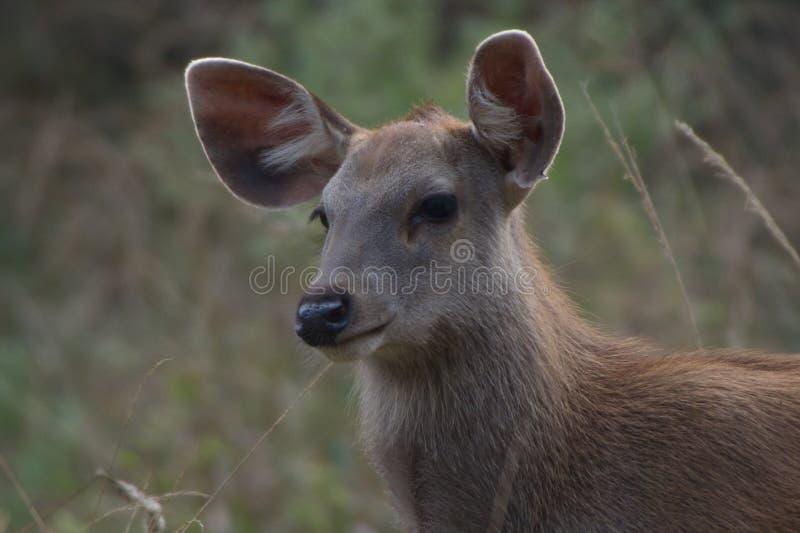 Primer joven de los ciervos foto de archivo libre de regalías