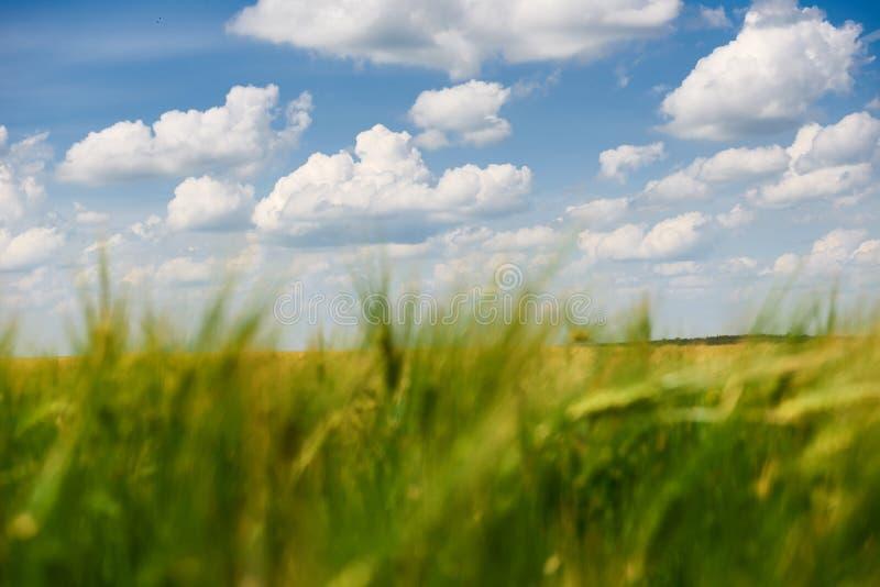Primer joven del campo de trigo como fondo, sol brillante, paisaje hermoso del verano fotos de archivo libres de regalías