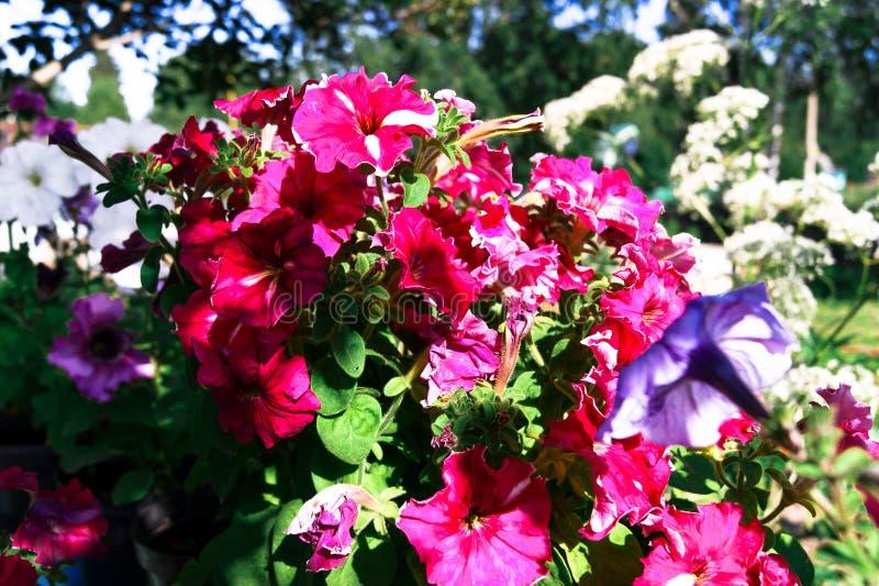 Primer kan kan floreciente de la petunia del rosa foto de archivo libre de regalías