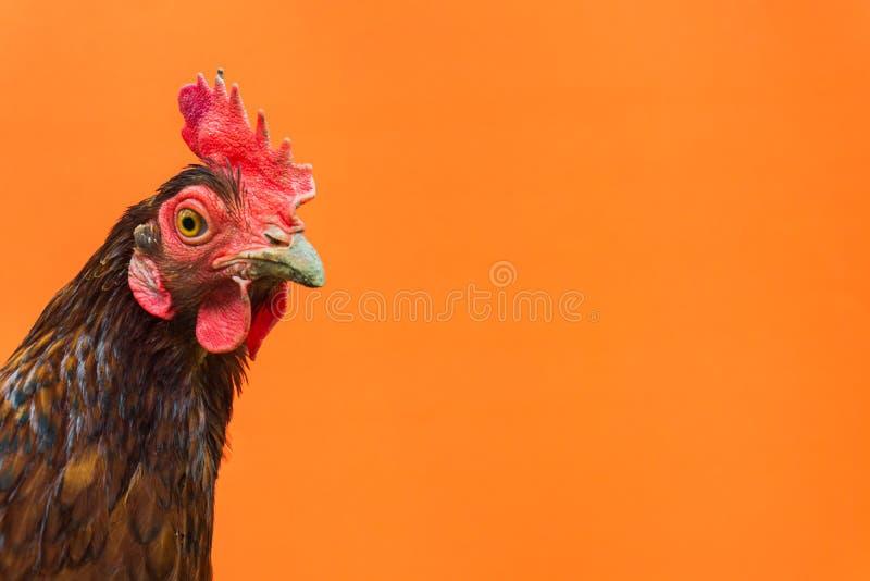 primer la cara de una gallina de la lágrima en un fondo anaranjado, espacio de la copia fotos de archivo