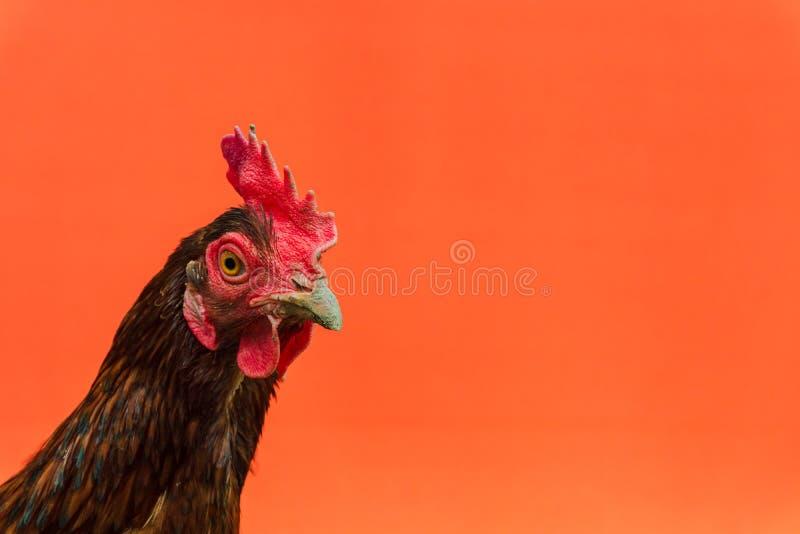 primer la cara de una gallina de la lágrima en un fondo anaranjado, espacio de la copia imagen de archivo