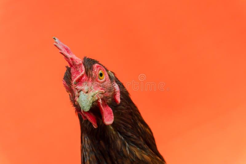 primer la cara de una gallina de la lágrima en un fondo anaranjado, espacio de la copia imagenes de archivo