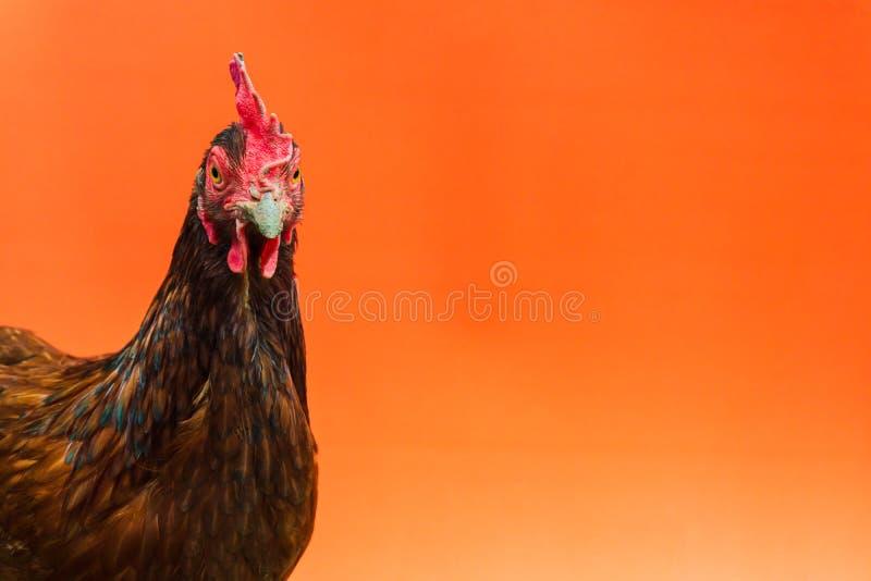 primer la cara de una gallina de la lágrima en un fondo anaranjado, espacio de la copia foto de archivo libre de regalías