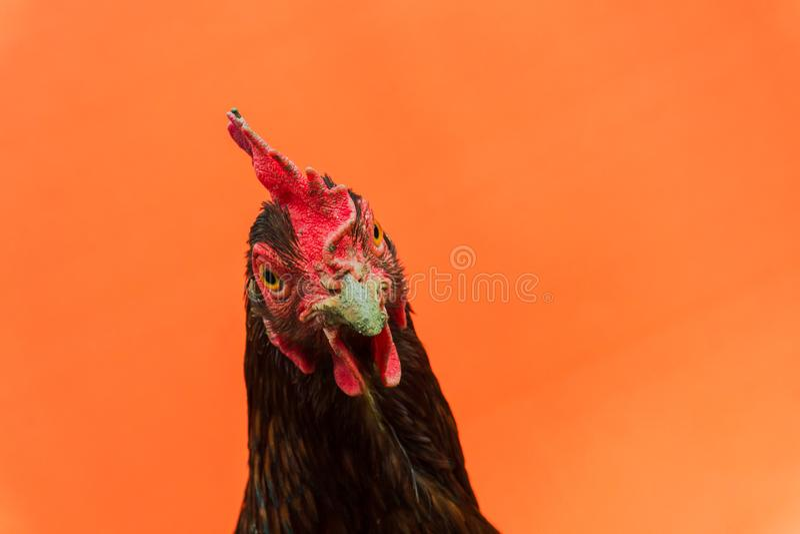 primer la cara de una gallina de la lágrima en un fondo anaranjado, espacio de la copia imagen de archivo libre de regalías
