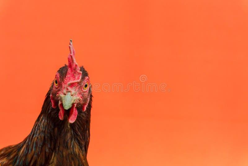 primer la cara de una gallina de la lágrima en un fondo anaranjado, espacio de la copia fotografía de archivo libre de regalías