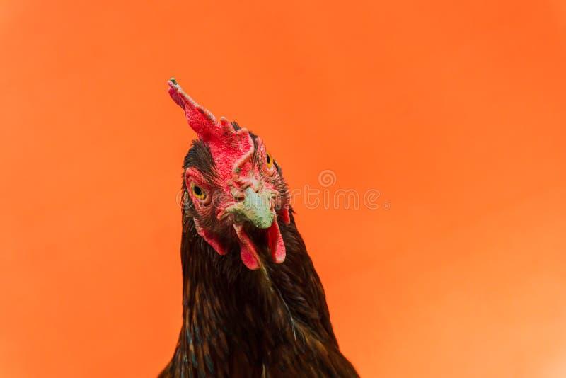 primer la cara de una gallina de la lágrima en un fondo anaranjado, espacio de la copia foto de archivo