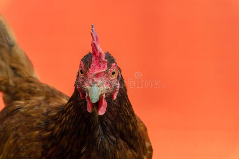 primer la cara de una gallina de la lágrima en un fondo anaranjado, espacio de la copia fotos de archivo libres de regalías