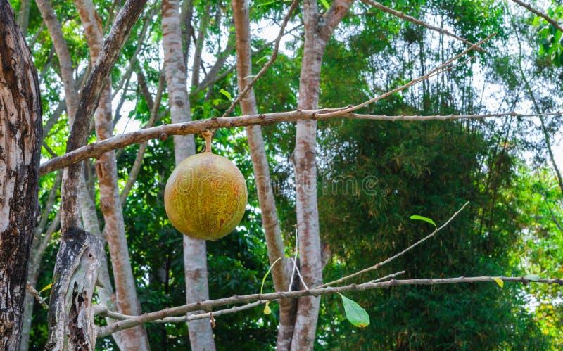 Primer a la producción del árbol de calabaza salvaje Crescentia Cujete L / BIGNONIACEAE fotos de archivo